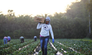 Migrant worker carries strawberries over her shoulder through field.